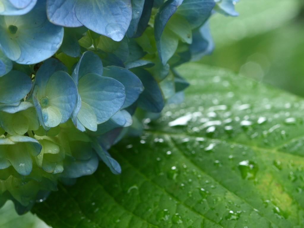 無料壁紙 無料素材 梅雨に咲く紫陽花 あじさい